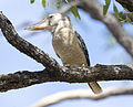 Blue winged kookaburra 2 (14610254817).jpg