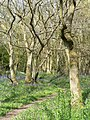 Bluebell time in Lady's Wood - geograph.org.uk - 795697.jpg