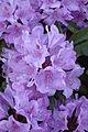 Blumen-Alpenrose-Rhododendron.jpg