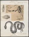 Boa canina - 1700-1880 - Print - Iconographia Zoologica - Special Collections University of Amsterdam - UBA01 IZ11900033.tif