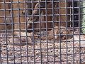 Bobcats (Felis rufus) at Jacksonville Zoo.jpg