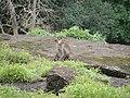 Bonnet Macaques Macaca radiata Kanheri SGNP Mumbai by Raju Kasambe DSCF0056 (1) 19.jpg