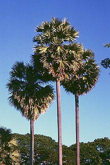 Borassus flabellifer.jpg