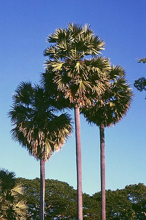 Geography of Cambodia - Borassus flabellifer - sugar palm