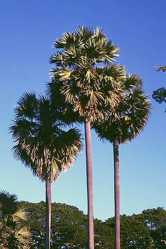 East Nusa Tenggara - Lontar palm has high significance in local agricultural.