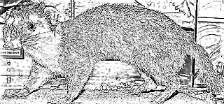 Bornean ferret badger Species of carnivore
