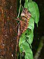 Borneo Forest Dragon (Gonocephalus bornensis) (8418297330).jpg