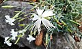 Botanical Garden in Poznan (Dianthus lumnitzeri).jpg