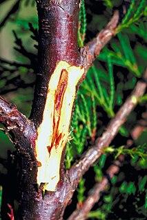 <i>Botryosphaeria dothidea</i> species of fungus