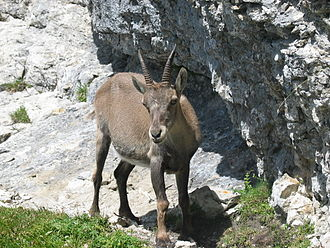 Alpine ibex - Female