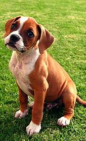 f0d11c2c800 Boxer (dog) - Wikipedia