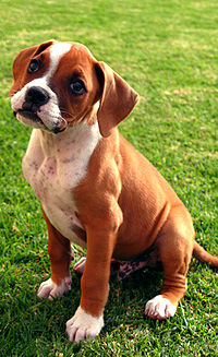 Boxer puppy fawn.jpg