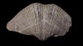 Brachiopoda02.png