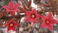 Brachychiton bidwillii flowers