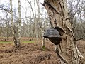 Bracket fungi in Holme Fen - April 2016 - panoramio.jpg