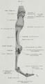 Braus 1921 188.png