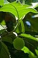 Breadfruit (Artocarpus altilis), Villa Lapas, Costa Rica (11718679813).jpg