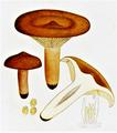 Bresadola - Lactarius rufus.png