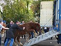 Breton foals solded for meat 02.jpg