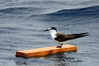 Bridled Tern - Seabamirum.jpg