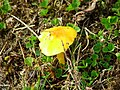 Bright yellow fungi - geograph.org.uk - 231747.jpg