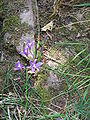 Brodiaea californica003.jpg