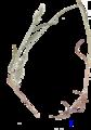 Bromus hordeaceus herbarium.png