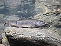 Brook trout in Marsh Brook, Rochester, NY. (8574372559).jpg