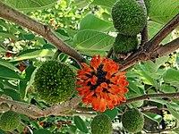 Broussonetia papyrifera fruits.jpg