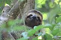 Brown-throated three-toed sloth female face.JPG