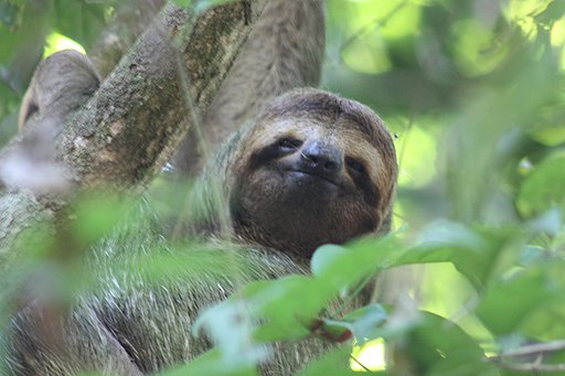 Brown-throated three-toed sloth female face