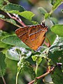 Brown Hairstreak (20292424098).jpg
