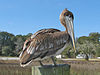 Brown Pelican (Pelecanus occidentalis) RWD1.jpg