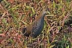 Brown crake (Amaurornis akool).jpg