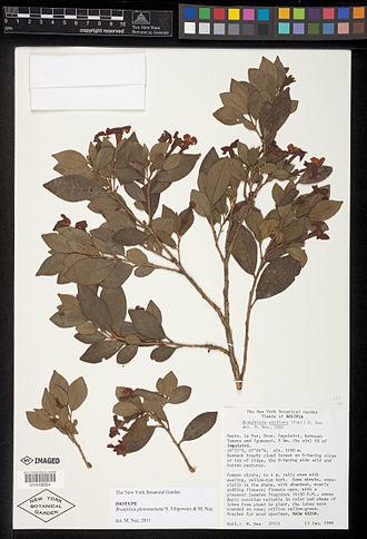 Brunfelsia plowmaniana - Image: Brunfelsia plowmaniana type specimen