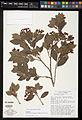 Brunfelsia plowmaniana type specimen.jpg