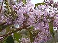 Buddleja officinalis in Jardin des Plantes 02.JPG