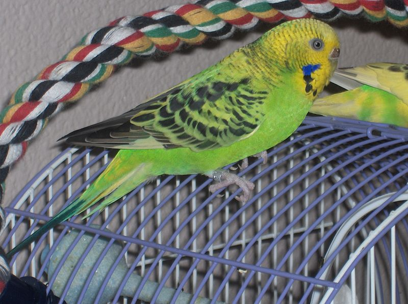 File:Budgerigar (Melopsittacus undulatus) -on cage.jpg