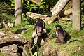Buffy-headed Capuchin at Chester Zoo 4.jpg
