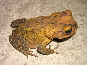Description de l'image Bufo taladai01.jpg.