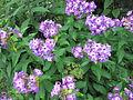 Buisson de fleurs nms1.jpg