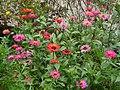Bunga Zinia Cantik.jpg