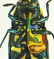 Buprestis octoguttata detail.JPG