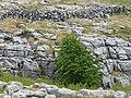 Burren Flora Tree (3586432120).jpg