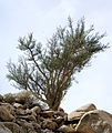 Bursera microphylla habit (Yarnell).JPG