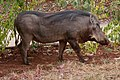 Bush pig ethiopia.jpg