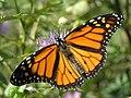 Butterfly (1297361727).jpg