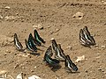 Butterfly mud-puddling at Kottiyoor Wildlife Sanctuary (2).jpg