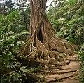 Buttress Tree.jpg