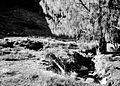 COLLECTIE TROPENMUSEUM Casuarina in Oost-Java's hooggebergte. Yang-gebergte 2800 m TMnr 10006181.jpg